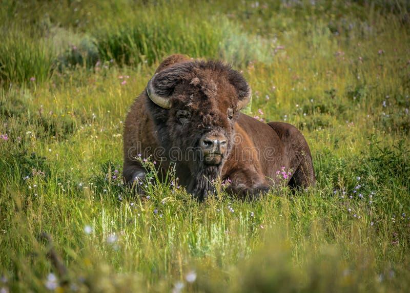 Уединённый мужской буйвол ослабляет в полях цветка долины Lamar стоковые фото