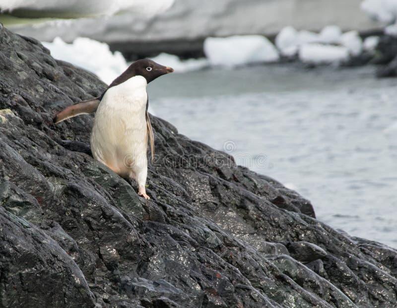 Уединённый пингвин Adele в Антарктике стоковое изображение rf
