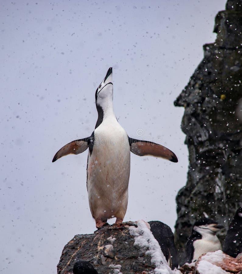 Уединённый пингвин Chinstrap в Антарктике стоковые изображения rf