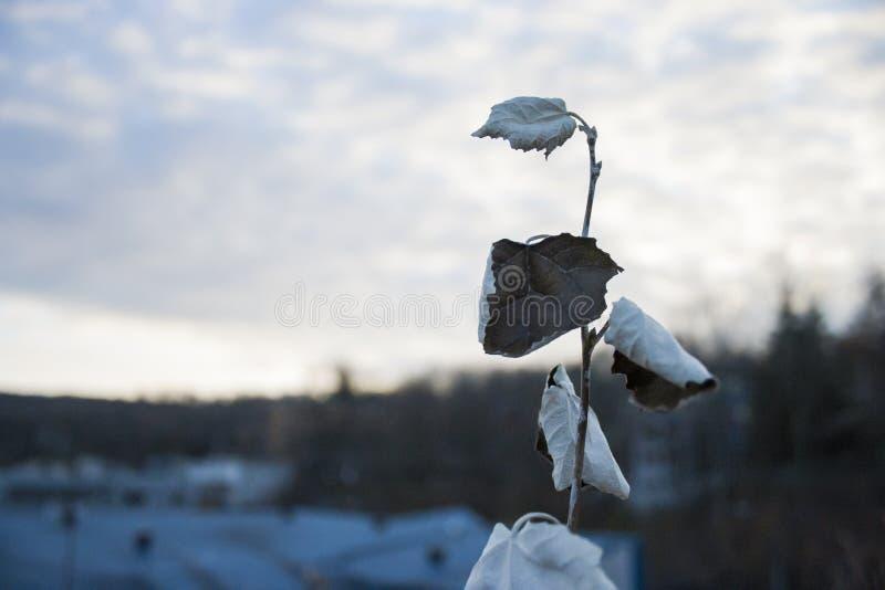 Уединённый серый тополь стоковое фото rf