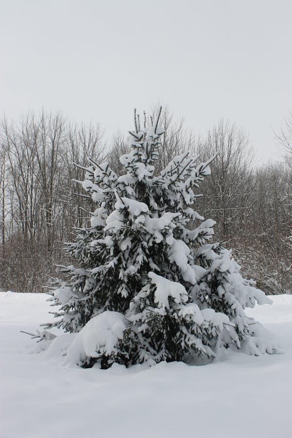 уединённый снежок сосенки стоковые фотографии rf