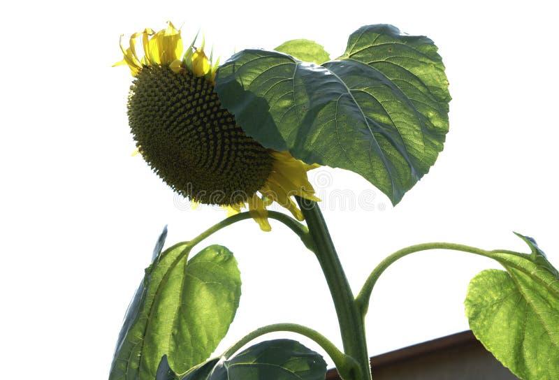 Уединённый солнцецвет в солнце стоковые изображения rf