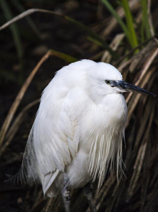 Уединённый Egret стоковые фотографии rf