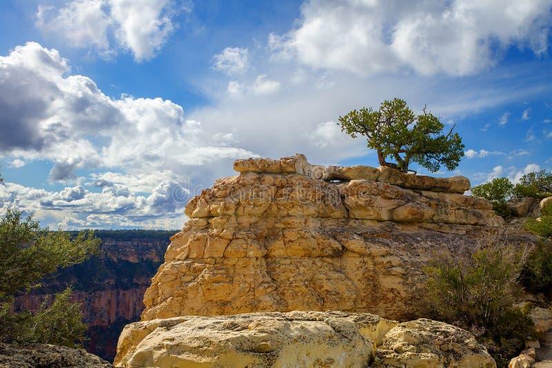 Уединённая сосна можжевельника на горной породе на гранд-каньоне стоковое фото