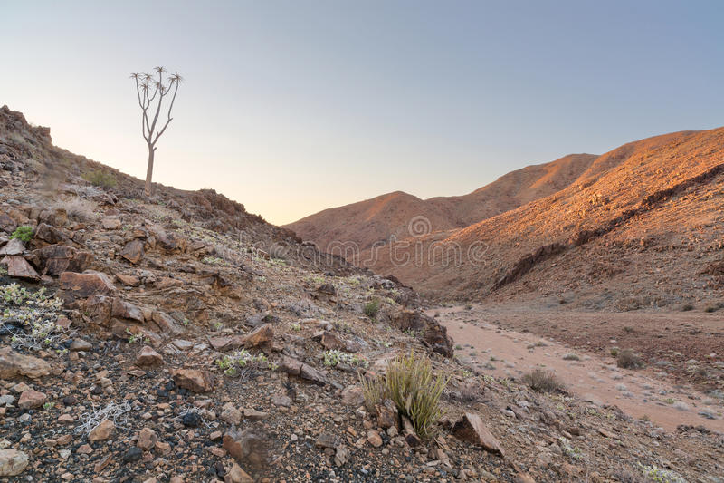 Уединённое дерево колчана рядом с сухим руслом реки стоковые фотографии rf