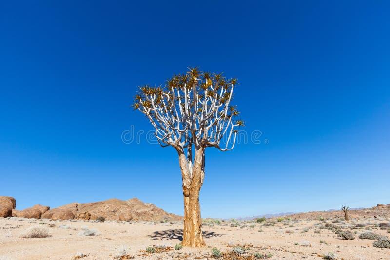 Уединённое дерево колчана стоковое изображение