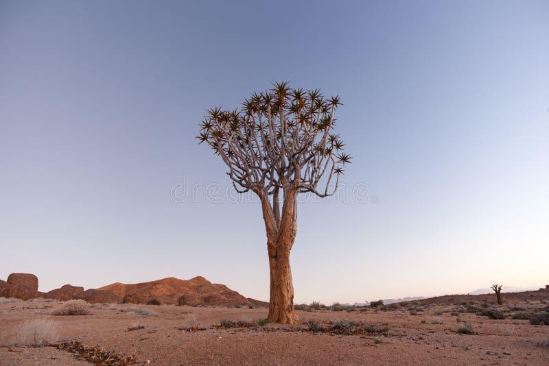 Уединённое дерево колчана стоковые изображения rf