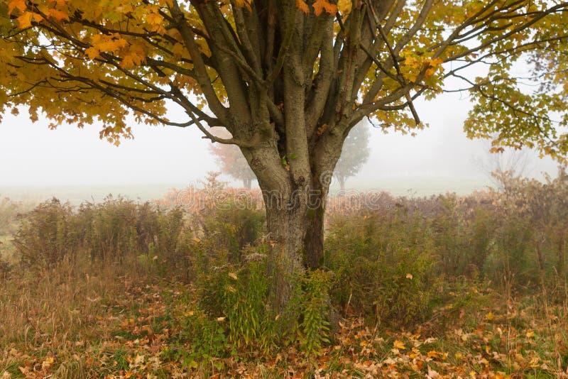 Уединённое дерево клена во время листопада, Stowe Вермонта, США стоковое изображение