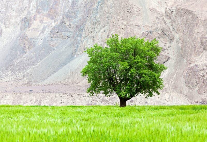 Уединённое зеленое дерево на поле стоковые фотографии rf