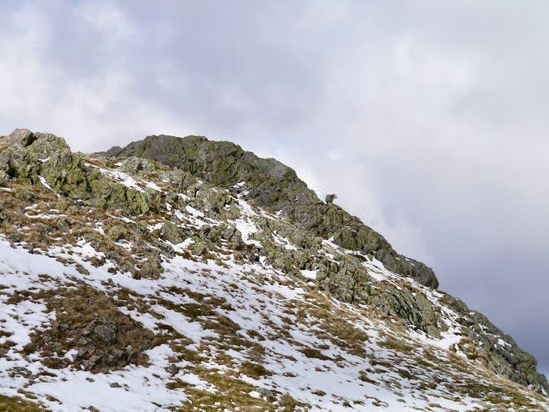 Уединённые овцы на снежной скалистой области стоковые фото