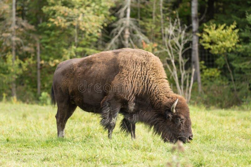 Уединённый американский буйвол поля стоковое изображение