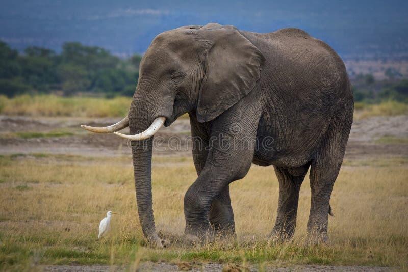 Уединённый африканский слон с солитарным egret скотин стоковая фотография
