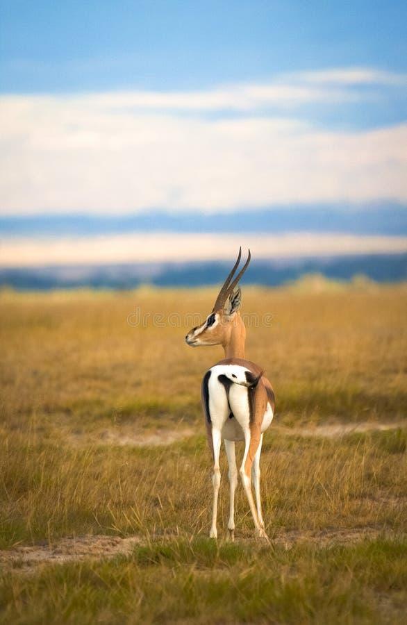 Уединённый газель Grant стоя на кенийских равнинах стоковые изображения