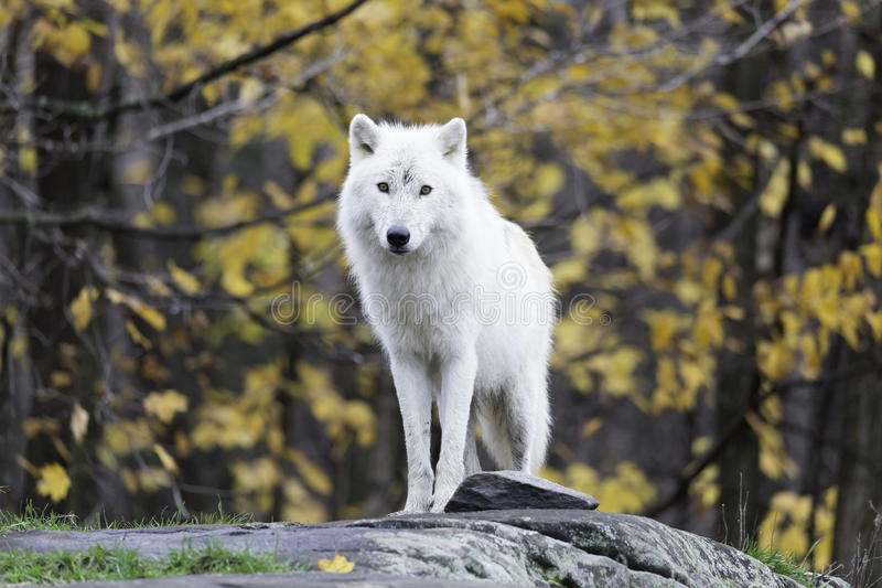 Уединённый ледовитый волк в падении, окружающая среда леса стоковые фото