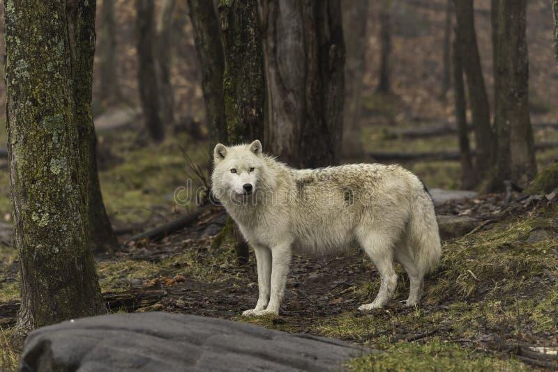 Уединённый ледовитый волк в падении стоковое фото rf