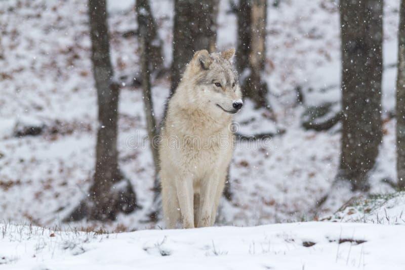 Уединённый ледовитый волк в сцене зимы стоковые фотографии rf