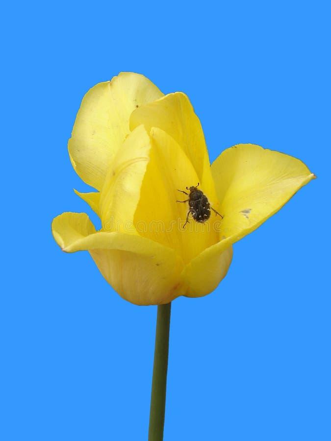Уединённый желтый тюльпан с жуком на голубой предпосылке стоковая фотография