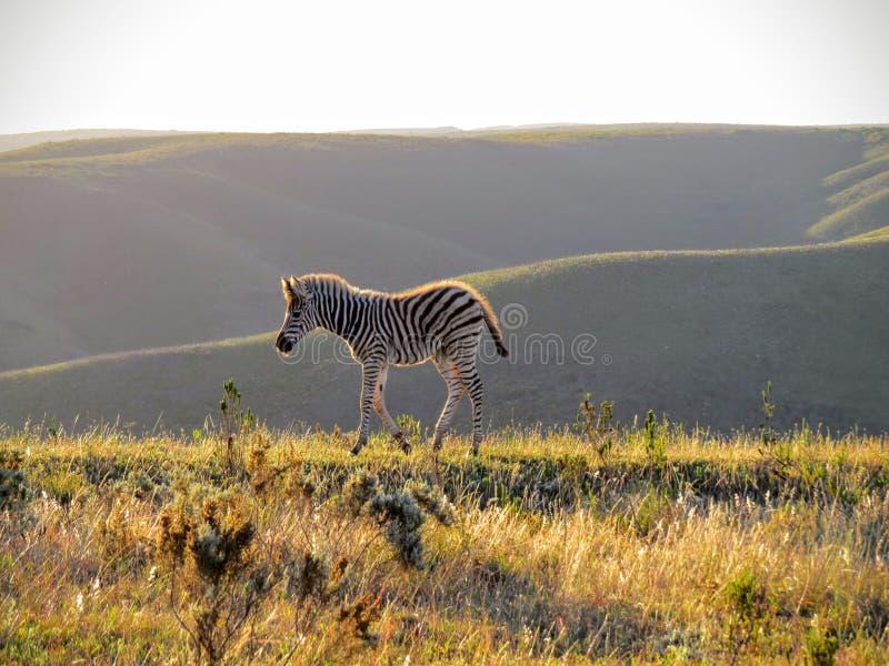 Уединённый осленок зебры на заходе солнца стоковая фотография rf