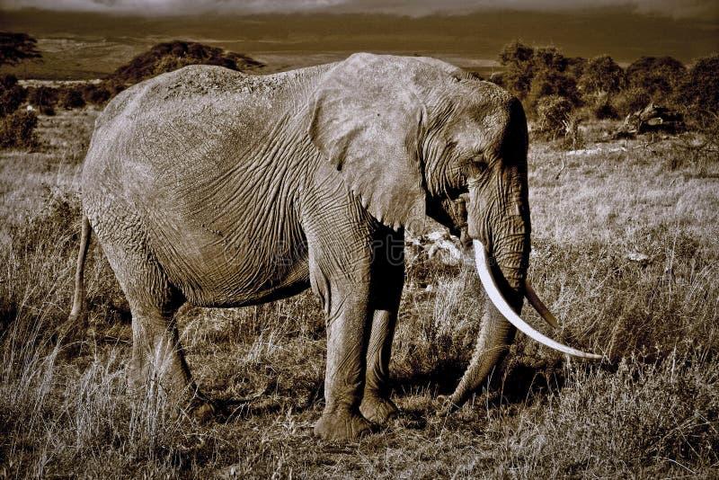 Уединённый слон с большими бивнями стоковые изображения