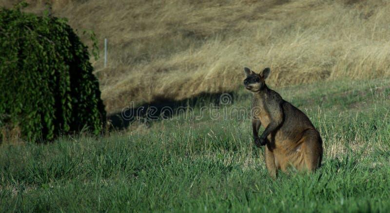 Уединённый Wallaby стоковое изображение