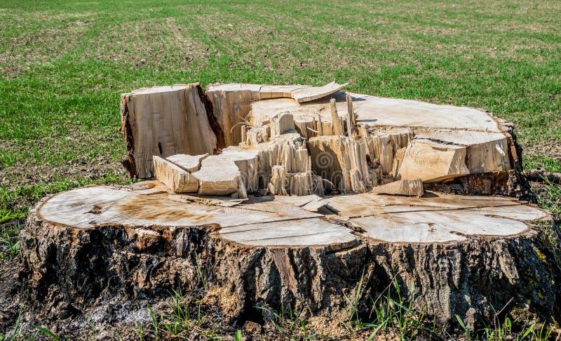 Большой пень дерева стоковое фото