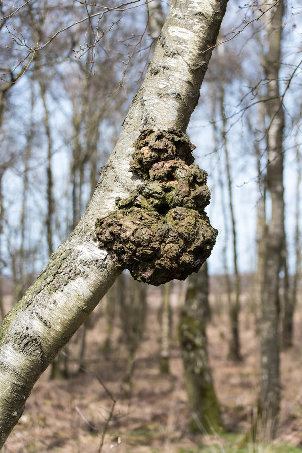 Узелок в дереве березы стоковые изображения