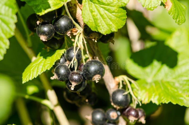 Download узкая часть поля глубины смородин черноты близкая вверх Стоковое Изображение - изображение насчитывающей смородины, витамины: 41662671
