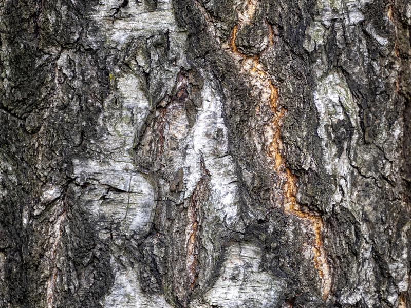 Узоры на коре старой березы предают ее возраст стоковое изображение rf