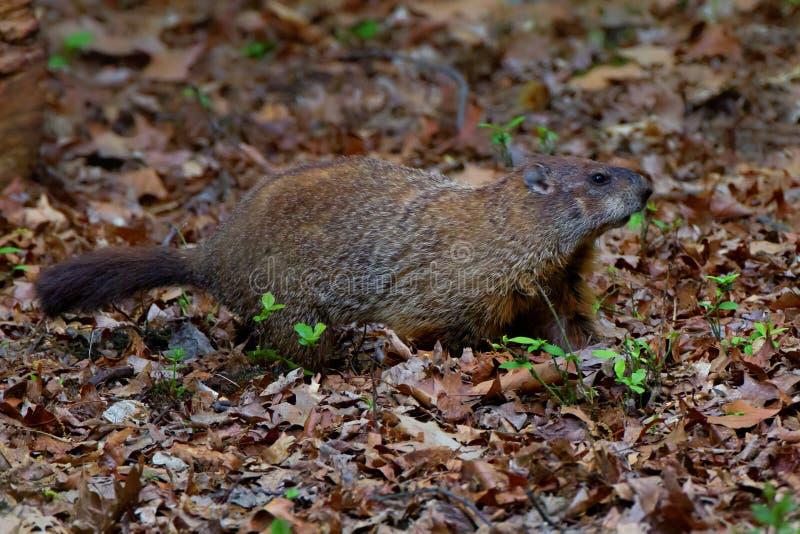 Указывать Groundhog стоковое изображение