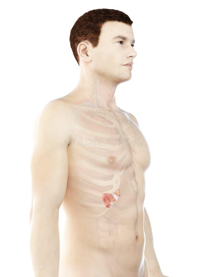 a укомплектовывает личным составом панкреас иллюстрация вектора
