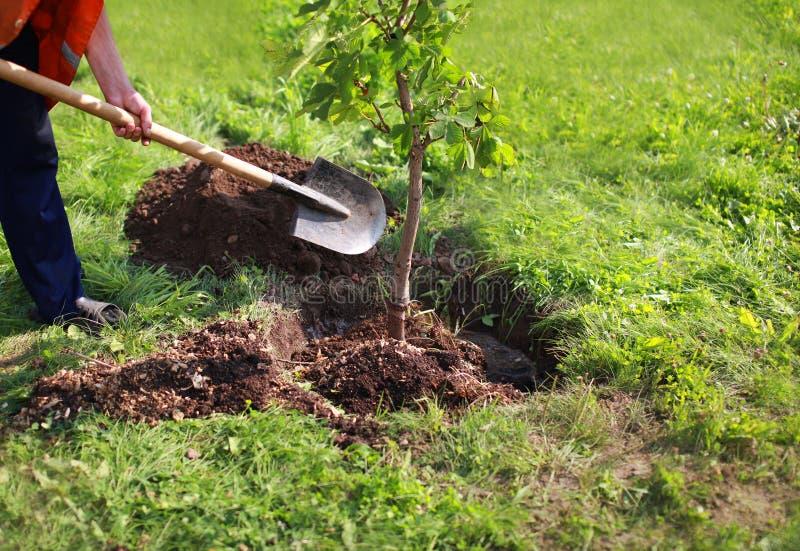 Укомплектуйте личным составом заводы дерево, руки с лопаткоулавливателем выкапывает землю, природу, окружающую среду и экологично стоковая фотография rf