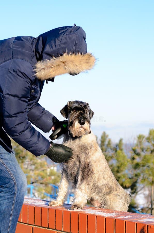 Укомплектуйте личным составом и его собака шнауцера outdoors в зиме стоковые фотографии rf