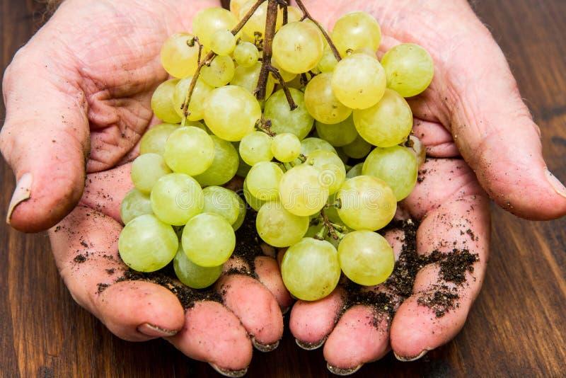 Укомплектуйте личным составом руку держа пук зеленых виноградин стоковая фотография rf