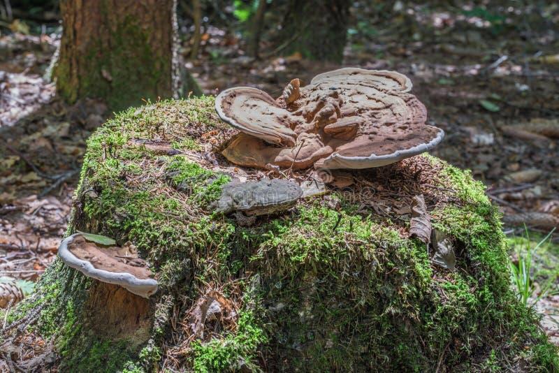 Укорените губку на стволе дерева перерастанном с мхом в лесе стоковое изображение