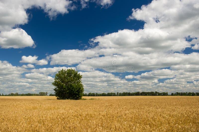 Украинское поле ячменя под пасмурным небом лета стоковое изображение rf