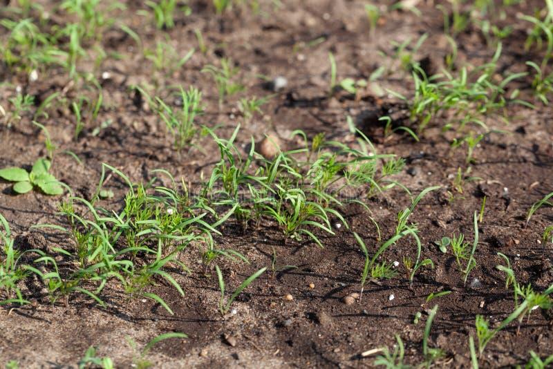 Укроп растет в саде в саде Первый фокус выбора сбора весны r стоковые фотографии rf