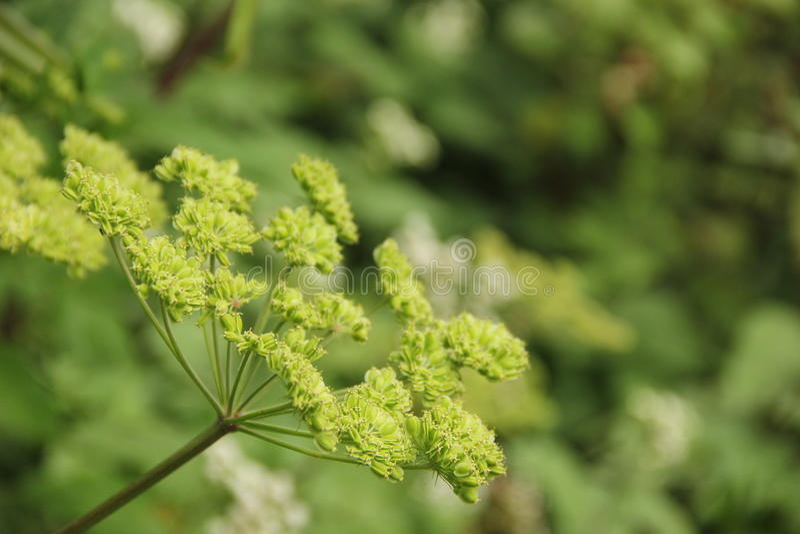Укроп Seedpods стоковое фото