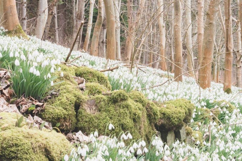 Укрывайте заволакивание snowdrops и покрытой мхом каменной стены стоковые изображения rf