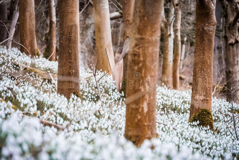 Укрывайте заволакивание snowdrops на том основании в шотландской древесине стоковые фотографии rf