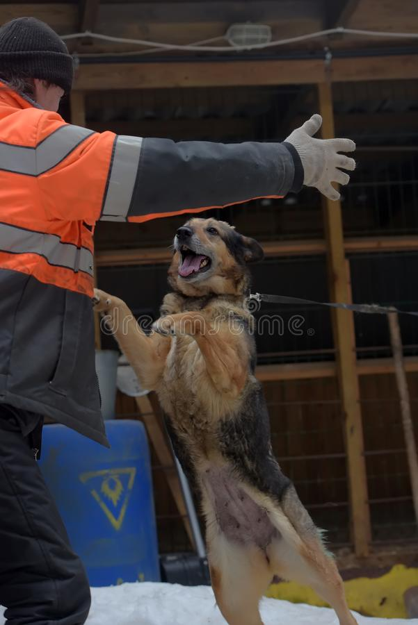 Укрытие для бездомных собак больших пород Работник укрытия с alabai стоковое изображение