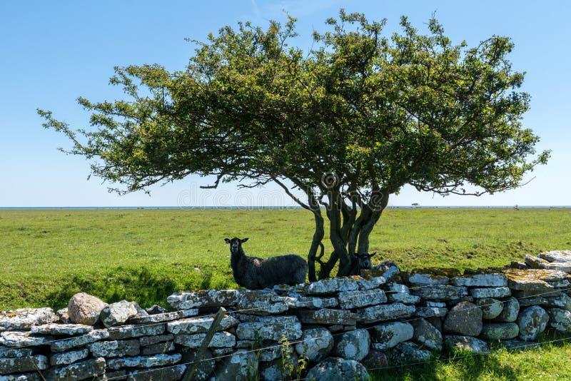 Укрытие и тень 2 паршивых овец ища от und солнечного света стоковое фото