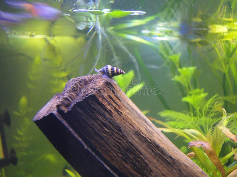 Улитка в аквариуме стоковая фотография