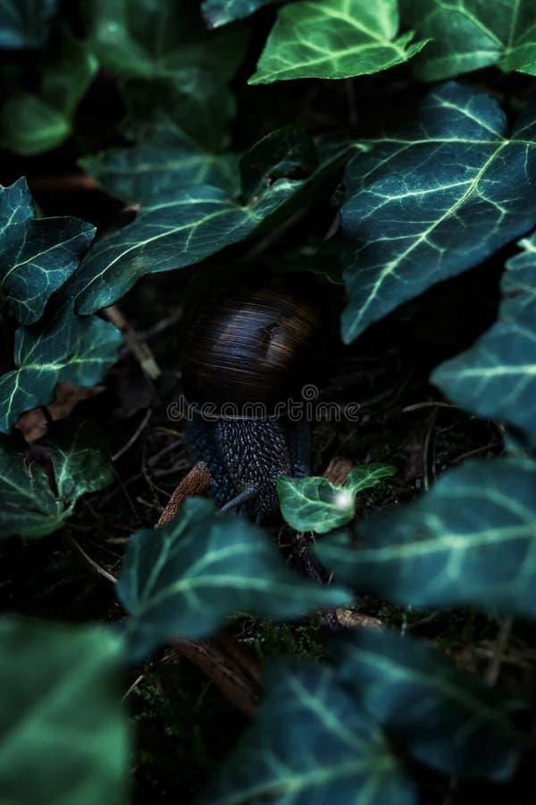 Улитка земли с раковиной на том основании под зелеными листьями плюща стоковая фотография rf