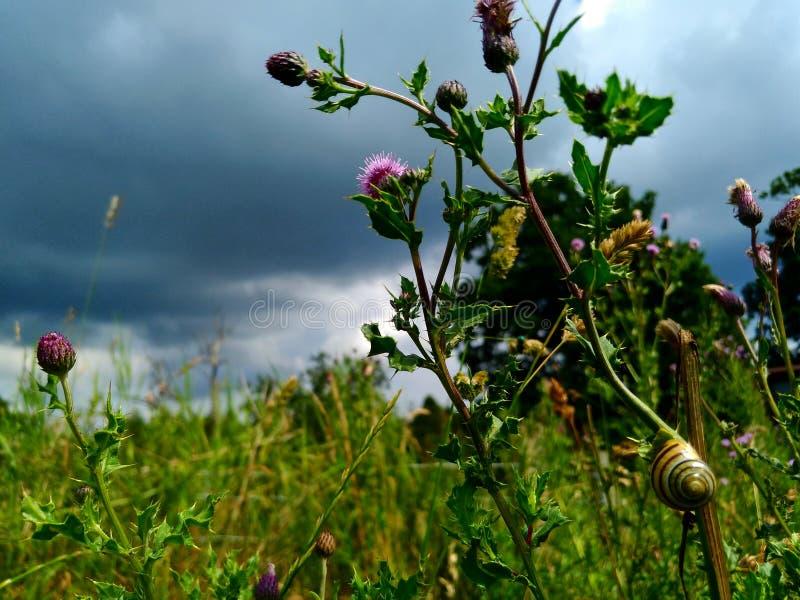 Улитка на шотландском thistle стоковое фото rf