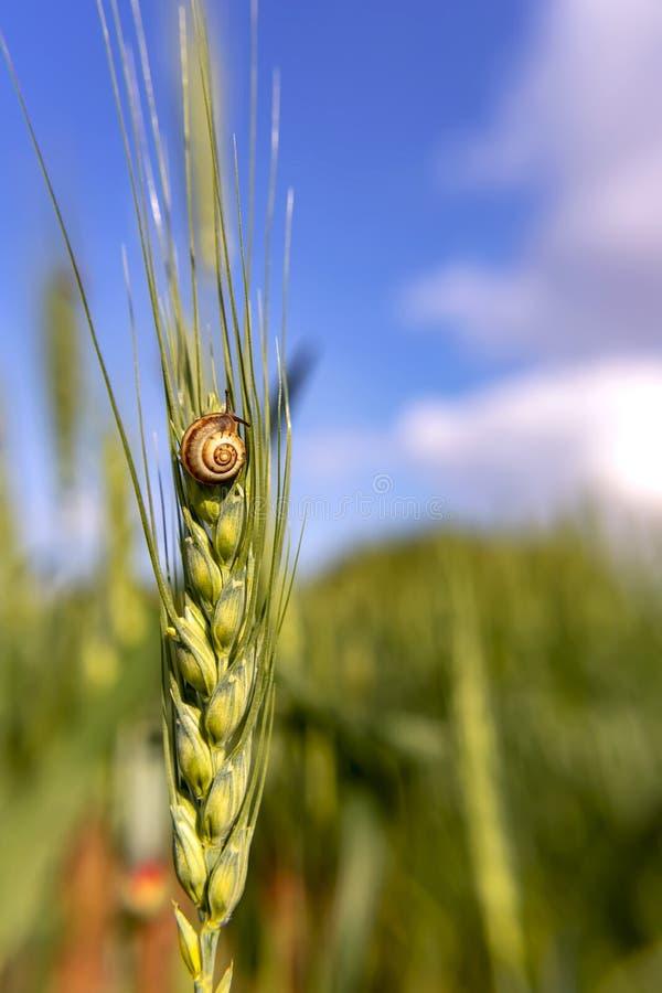Улитка сада сидя на зеленом колоске конца-вверх пшеницы на запачканной зеленой предпосылке стоковое изображение rf