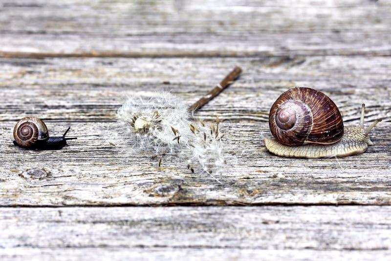 2 улитки и увяданного одуванчик на деревянной поверхности стоковые изображения rf