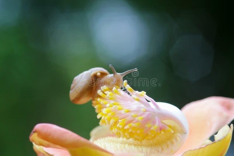 Улитки, прогулка улиток над цветками стоковое изображение