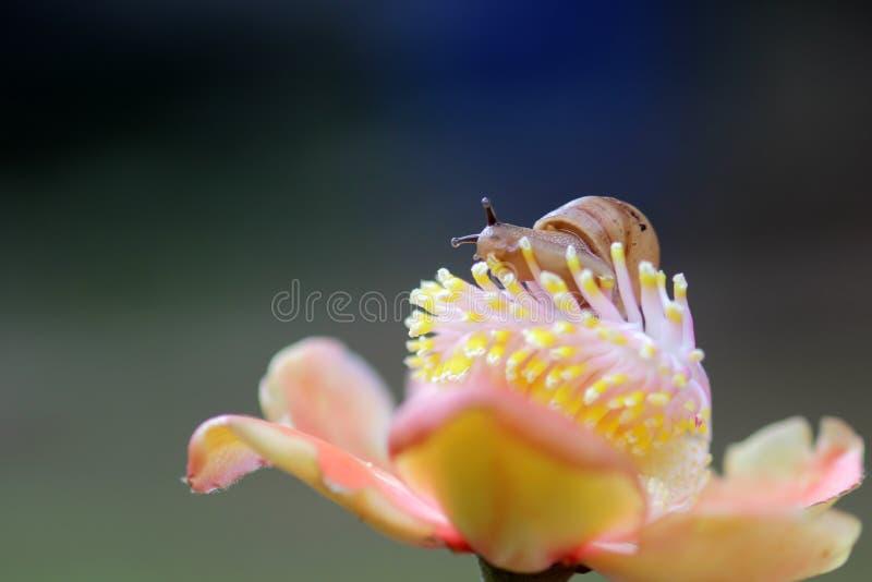 Улитки, прогулка улиток над цветками стоковая фотография rf