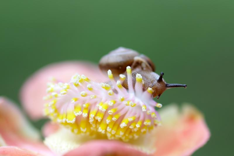 Улитки, прогулка улиток над цветками стоковое фото rf