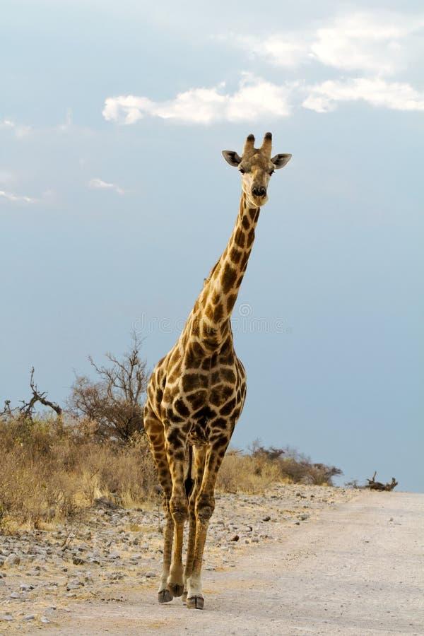 Улица Giraffe стоковые изображения rf